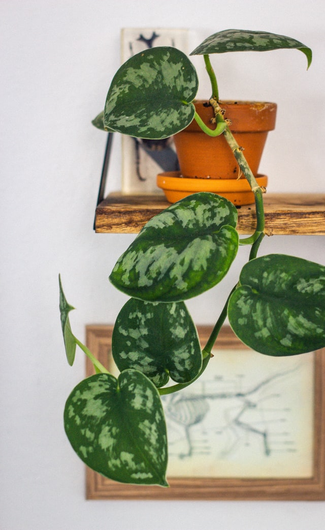 Devils Ivy Houseplant